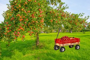 pumpkin wagon on orchard